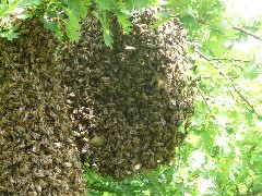 What to do if you find a Swarm?